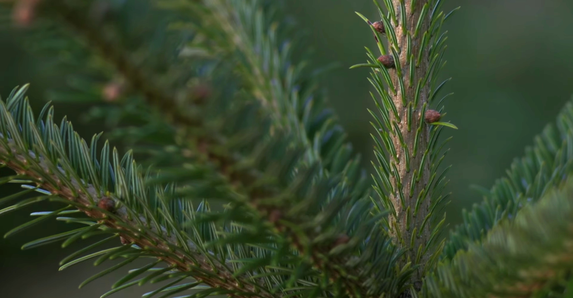 The finest Nordmann Excellent Christmas trees in Amsterdam from €15,00 onwards